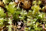 Blunt-leaved earwort (Diplophyllum obtusifolium)